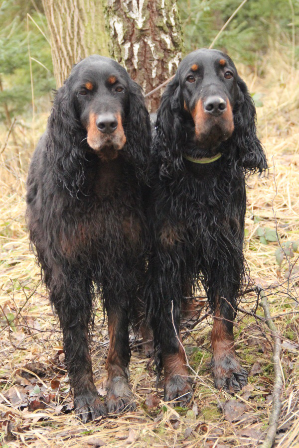 gordon setter in pheasantry Albertovka